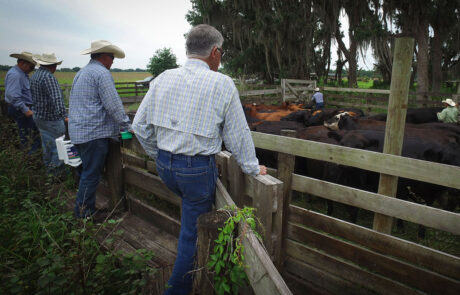 Four men looking into a cattle pen