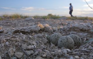 Mountain plover eggs